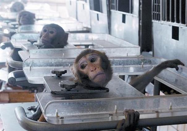 prohiben-uso-de-chimpances-para-experimentos4