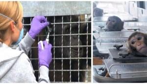 prohiben-uso-de-chimpances-para-experimentos6