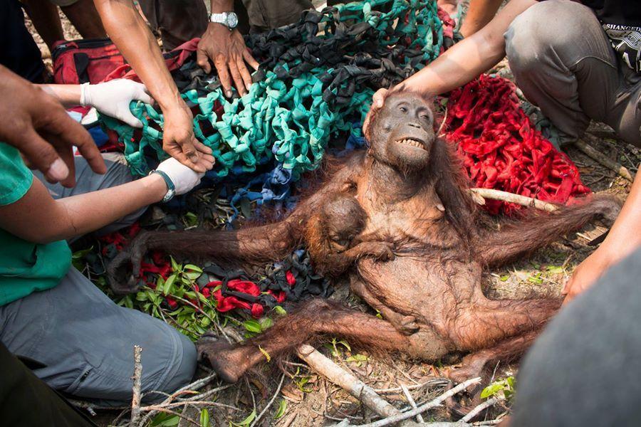 rescate-orangutanes-victimas-de-incendio-forestal-indonesia1