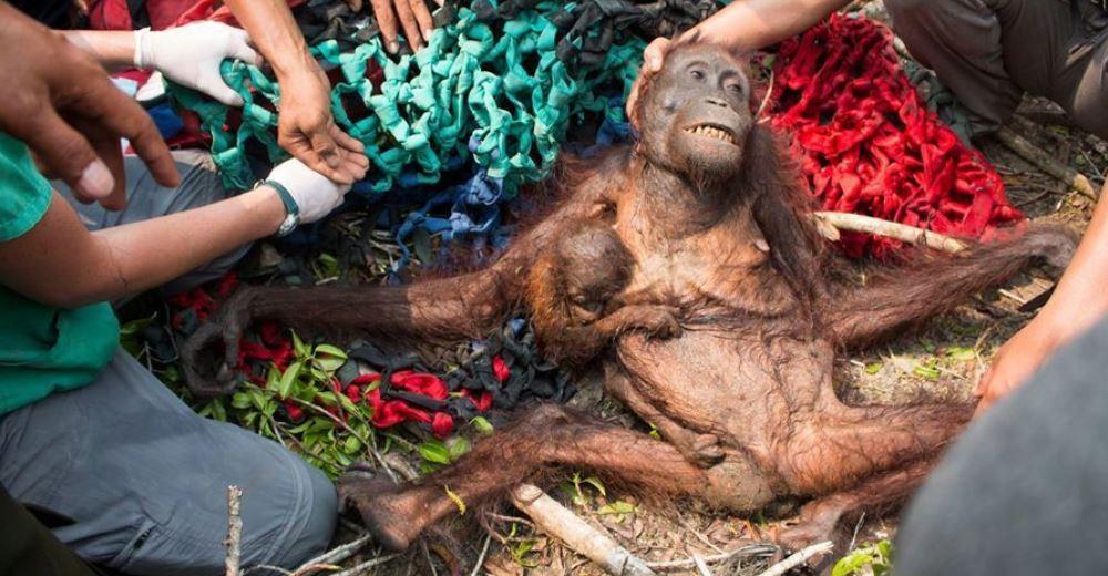 El emotivo momento en el que esta orangutana supo que por fin ella y su bebé estaban a salvo