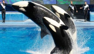 seaworld-pone-fin-a-espectaculo-de-orcas-en-sd1 - copia