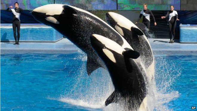 seaworld-pone-fin-a-espectaculo-de-orcas-en-sd1