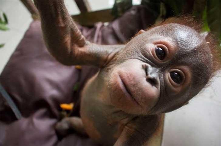 chimpance-rescatado2