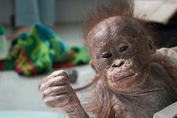 chimpance-rescatado5