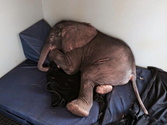 elefante-bebe-rescatado1
