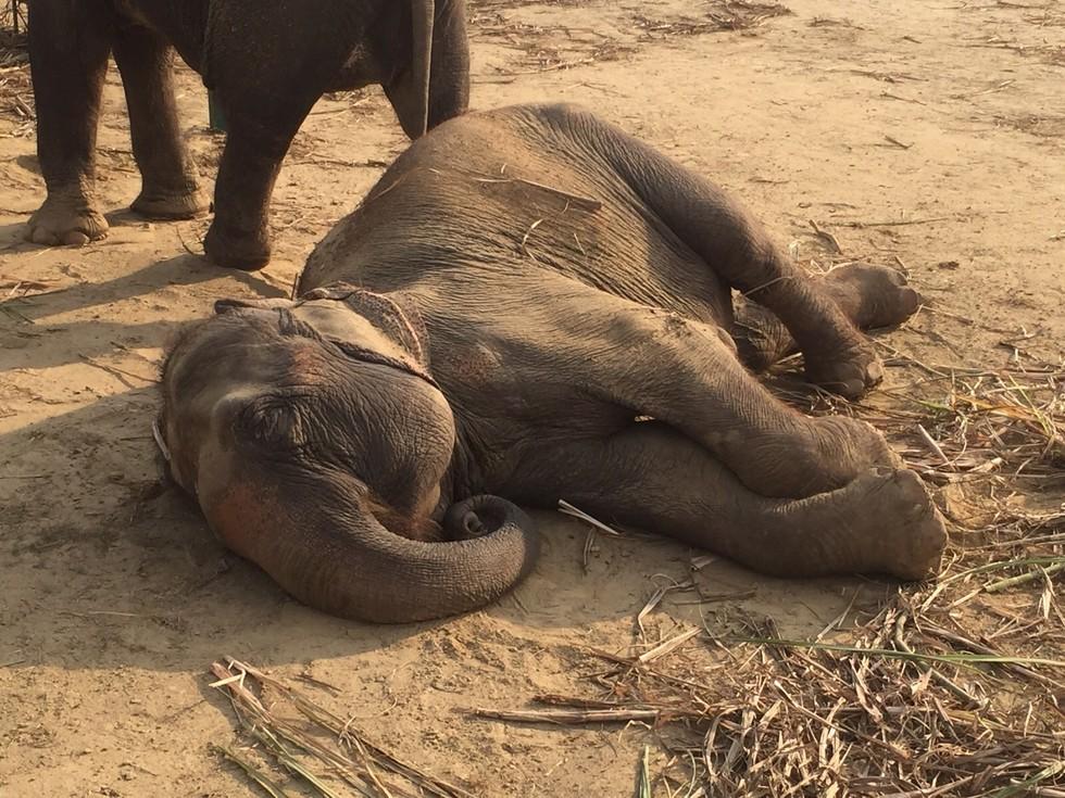 elefante feliz colapsa 4