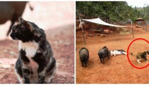 gata-vive-con-cerdos