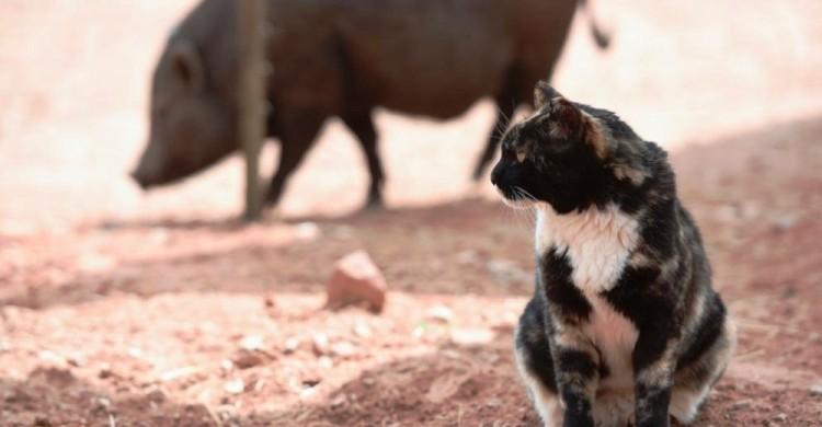 gatica-vive-con-cerdos 2