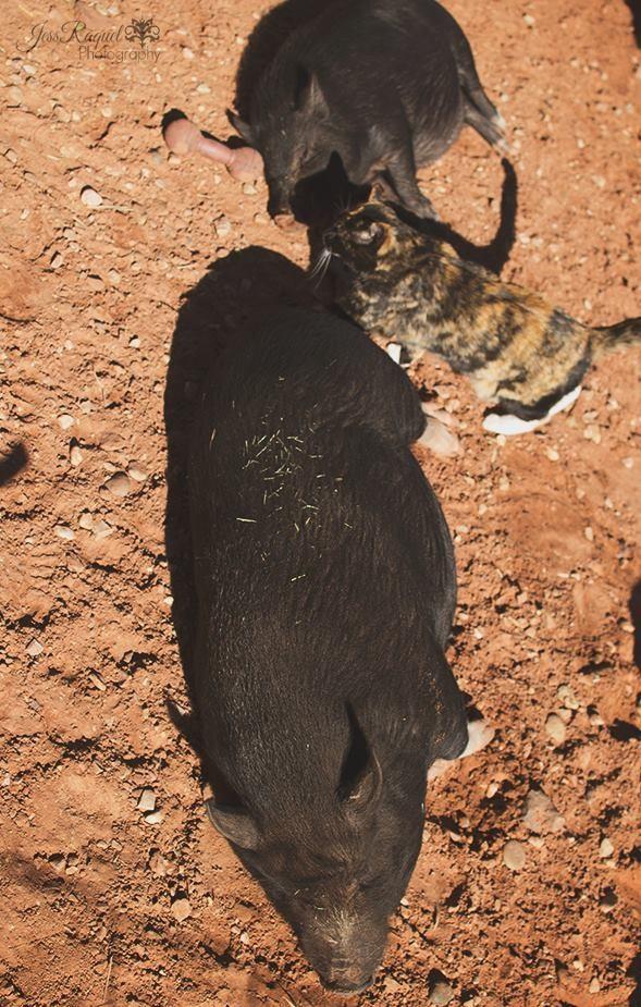 gatica-vive-con-cerdos 3