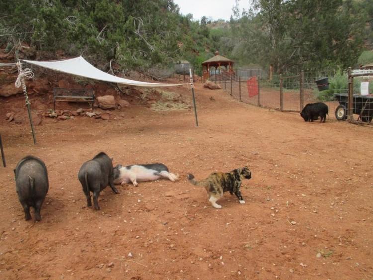 gatica-vive-con-cerdos 4