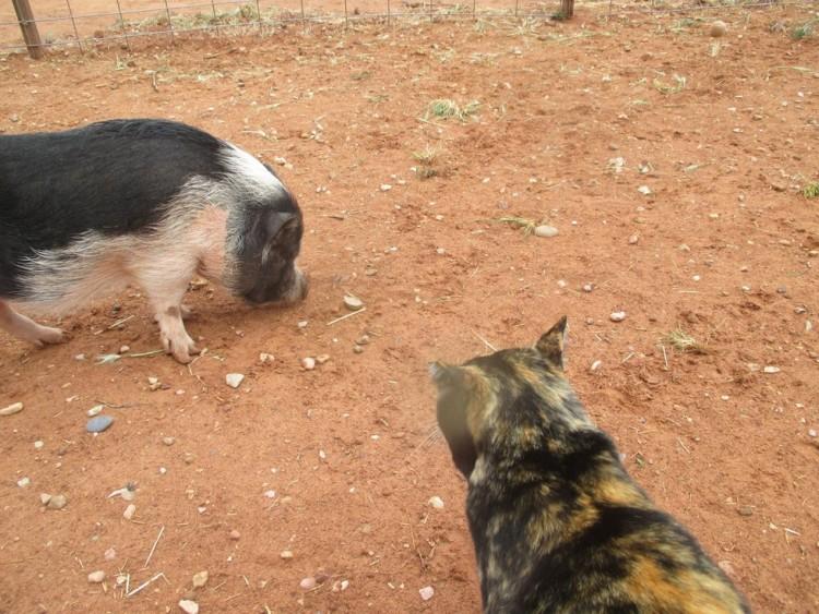 gatica-vive-con-cerdos 5
