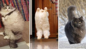 gatos-esponjosos