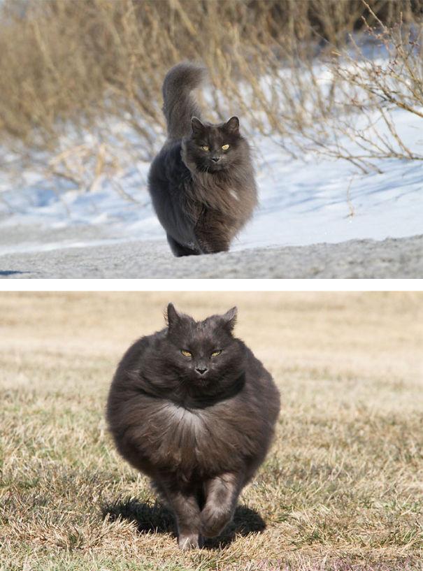gatos-esponjosos10