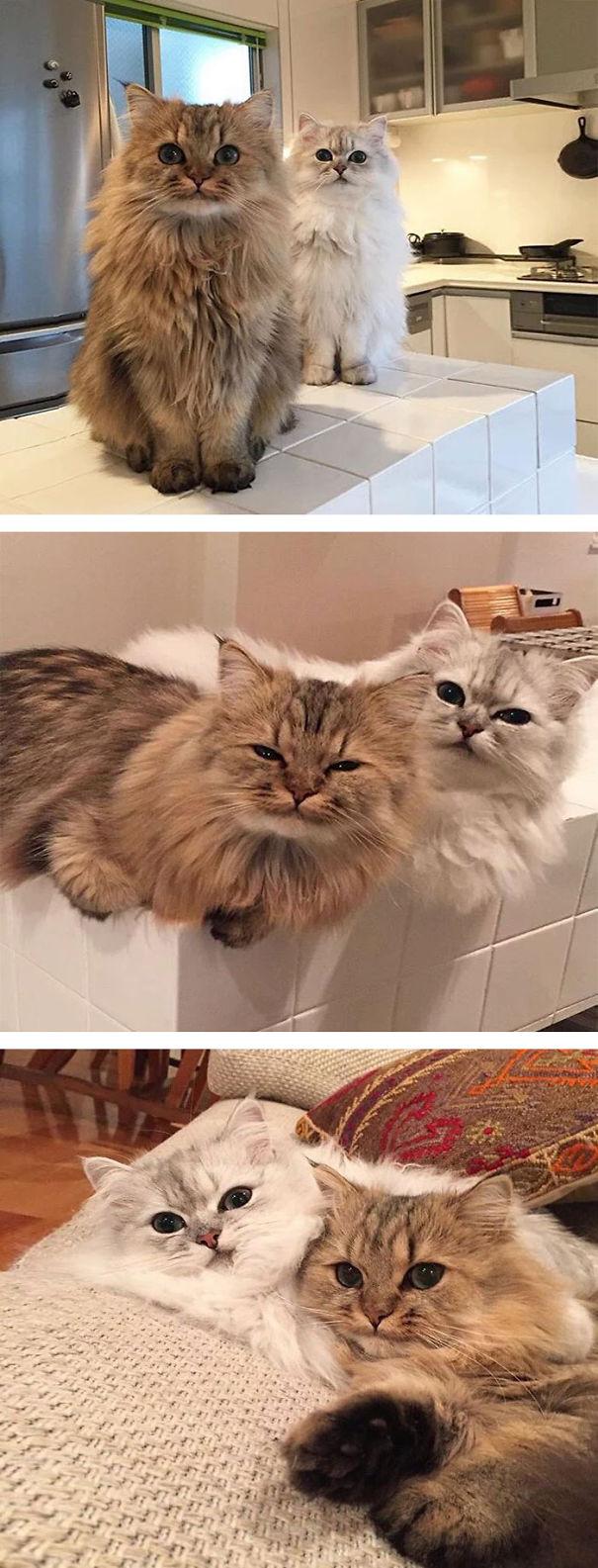 gatos-esponjosos12
