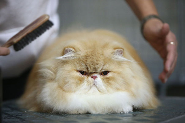 gatos-esponjosos22