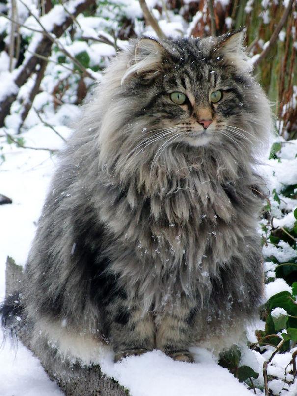 gatos-esponjosos4