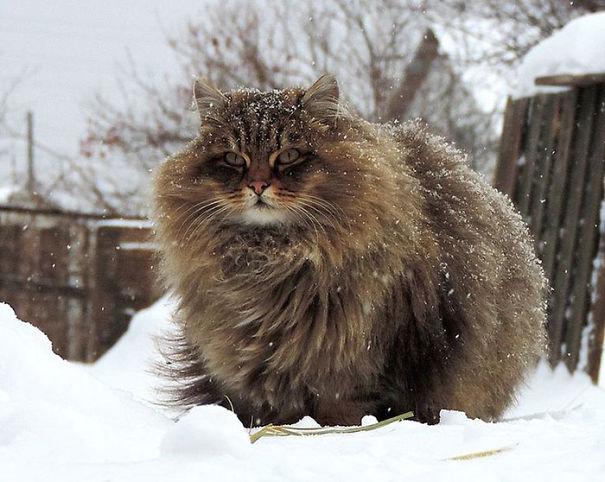 gatos-esponjosos7