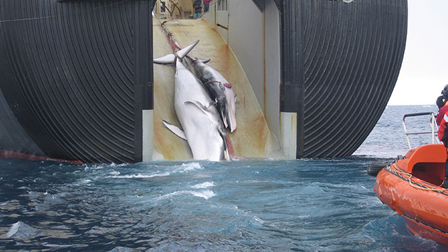 hackers-cierran-paginas-de-cazadores-de-ballenas10