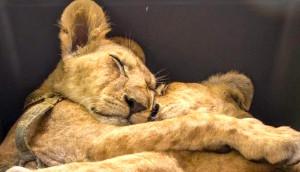 hermanos-leones