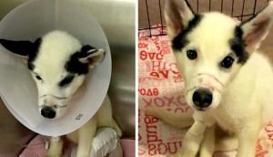 husky-rescatado