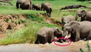 mama-elefante-rescata-a-su-bebe-en-el-rio