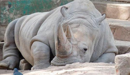 nabire-rinoceronte