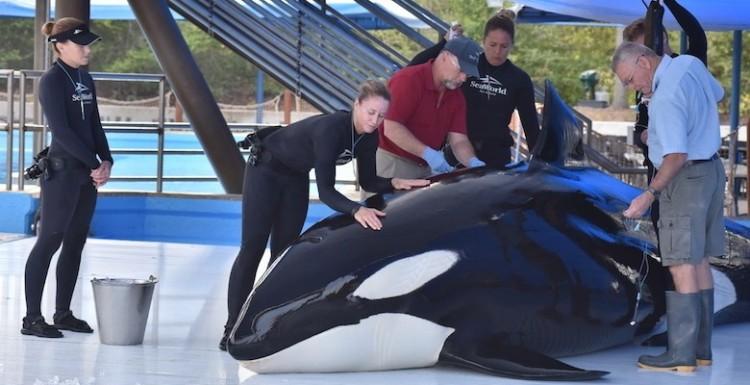 orca-muere-en-seaworld1