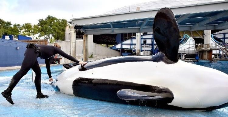 orca-muere-en-seaworld3