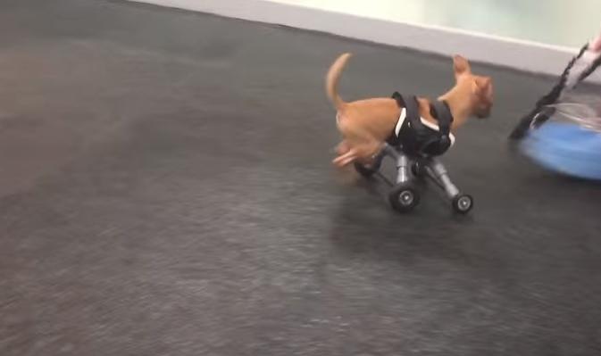 perro-abandonado-en-caja-camina-por-primera-vez8