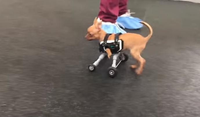 perro-abandonado-en-caja-camina-por-primera-vez9
