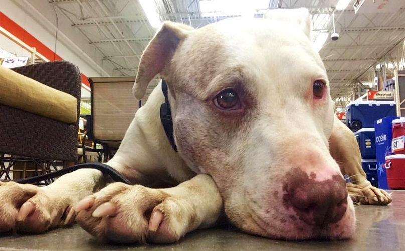 pitbull-adoptado-despues-de-esperar-mil-dias1