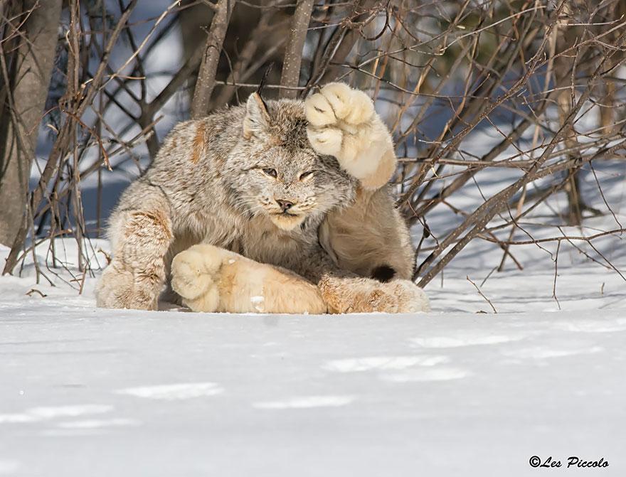 raros gatos salvajes 1