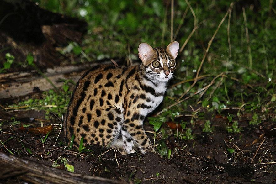 raros gatos salvajes 10