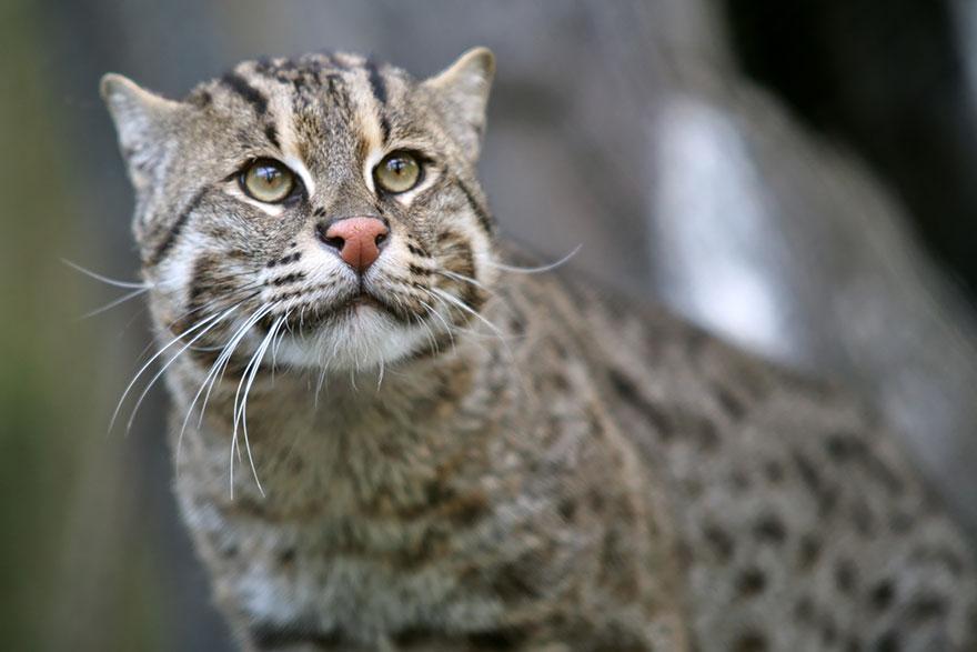 raros gatos salvajes 11