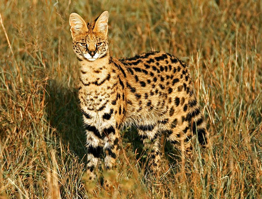 raros gatos salvajes 12