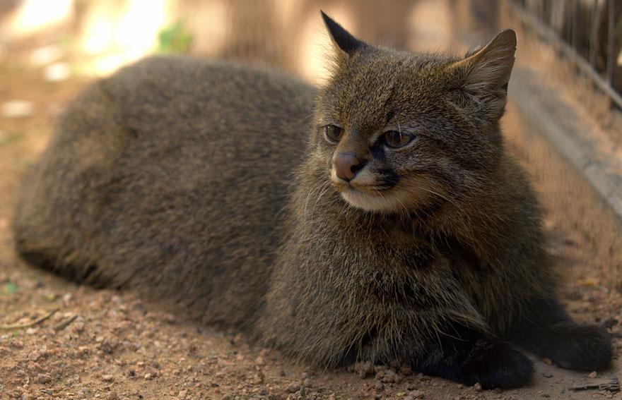 raros gatos salvajes 8