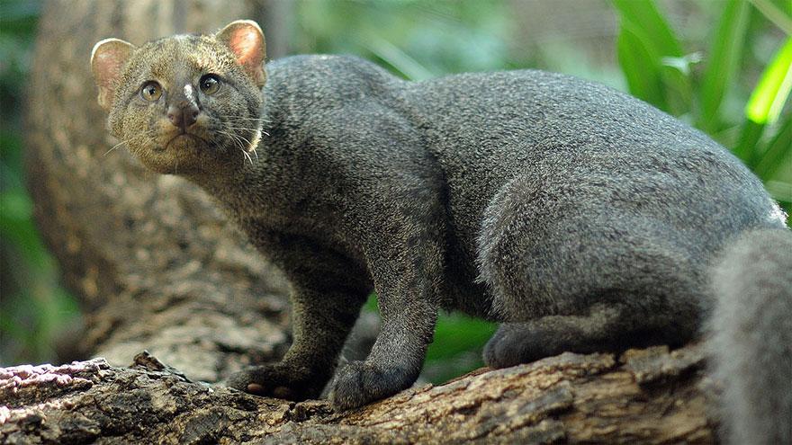 raros gatos salvajes 9