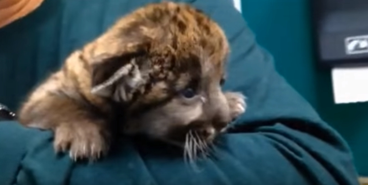 rescate-de-pequena-pantera10
