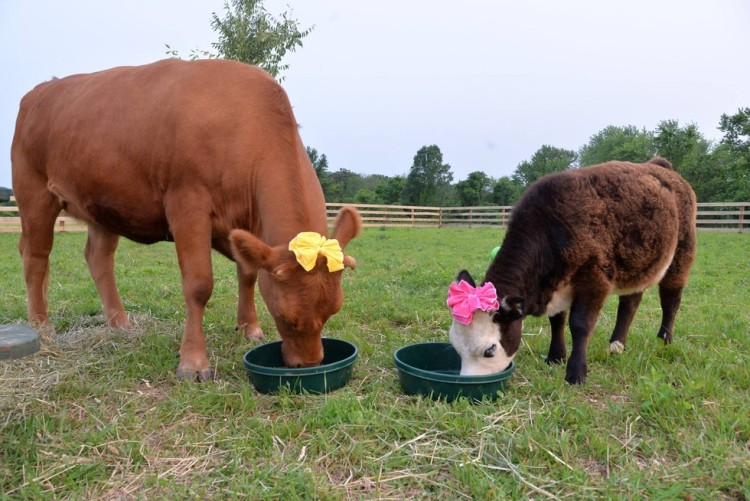 vaca vegan 1