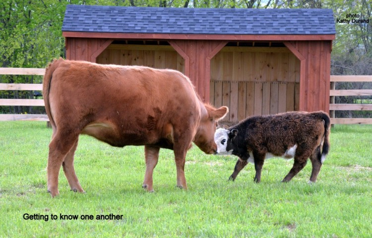 vaca vegan 5