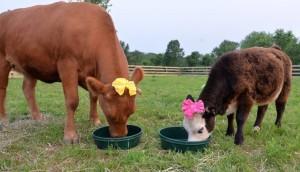 vaca vegan id