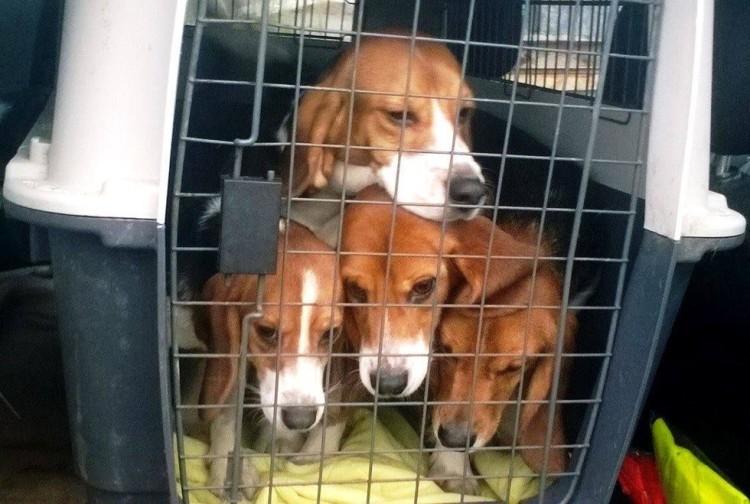 10 beagles rescatados 1