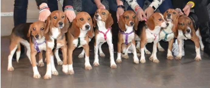 10 beagles rescatados 2