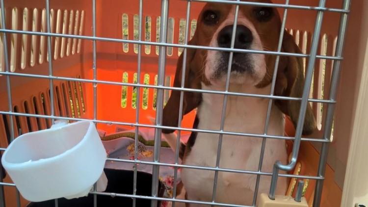 10 beagles rescatados 4