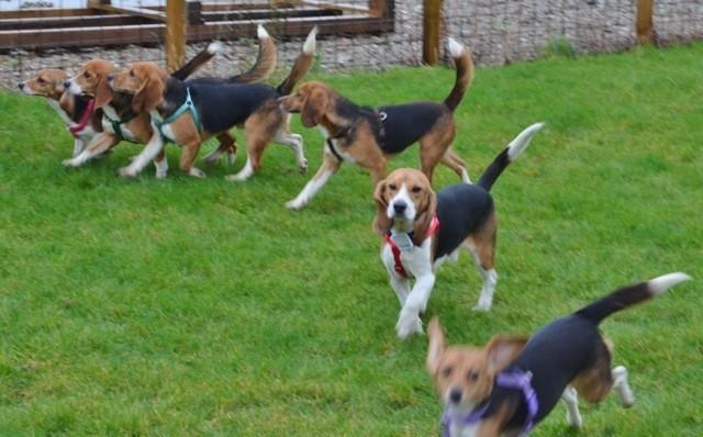 10 beagles rescatados 7