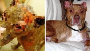 Pitbull operado mas de 33 veces portada