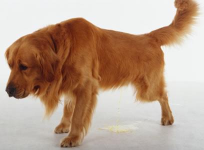 Quieres saber si tu perro tiene dolor presta atenci n a - Cuando se puede banar a un perro ...