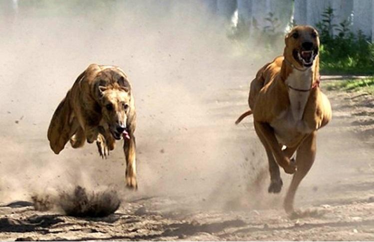 argentina prohibe carrera de perros 2