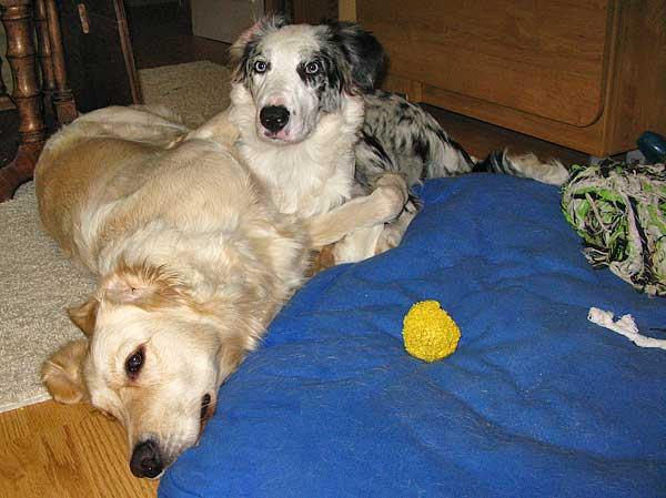 beneficios de tener dos perros 5