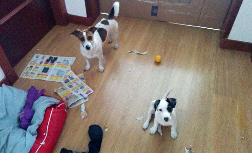 Conoces los beneficios de tener dos perros en casa zoorprendente - Perros para tener en casa ...